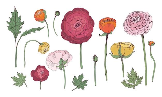 Conjunto de elementos florais coloridos desenhados à mão. coleção com flores de ranúnculo.