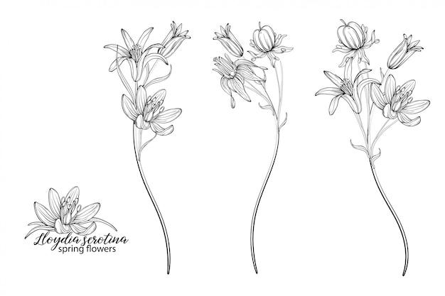 Conjunto de elementos florais de flores lloydia serotina. flores da primavera. lloydia serotina