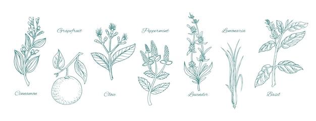 Conjunto de ervas com óleo essencial para desenhar à mão