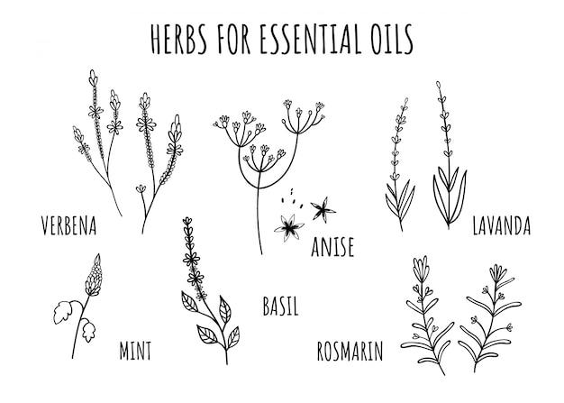 Conjunto de ervas para óleos essenciais. estilo desenhado à mão