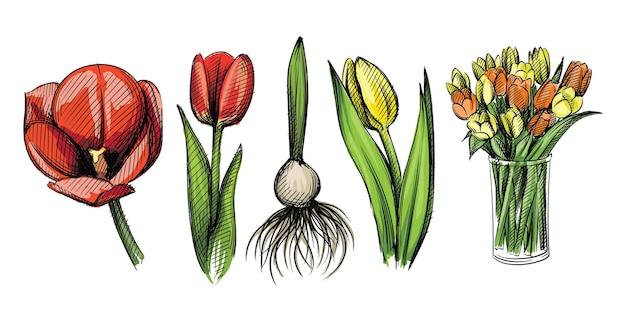 Conjunto de esboço desenhado à mão em aquarela colorida de flores de tulipa em branco