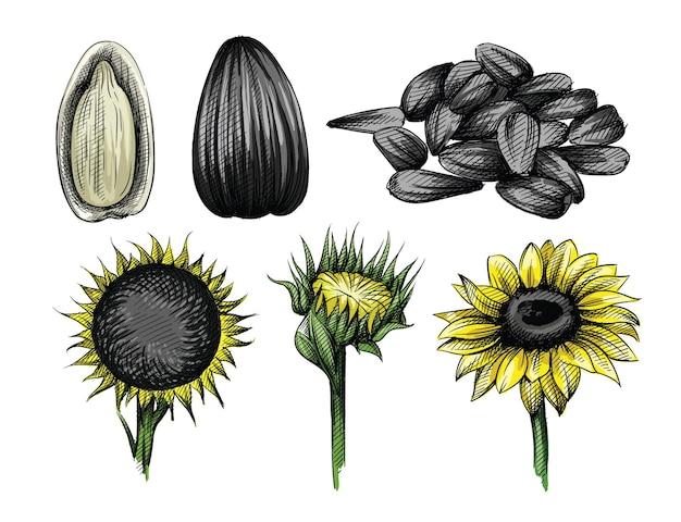 Conjunto de esboço desenhado à mão em aquarela colorida de girassol e sementes de girassol em branco