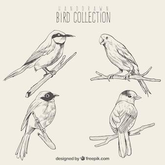 Conjunto de esboços de pássaros