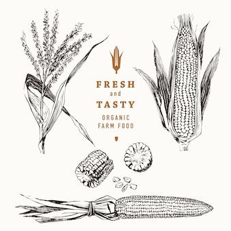 Conjunto de espiga de milho vintage. milho botânico.