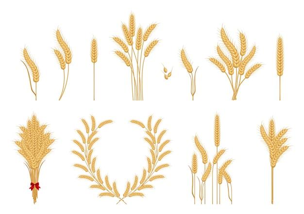 Conjunto de espigas de trigo amarelas maduras e grãos de trigo