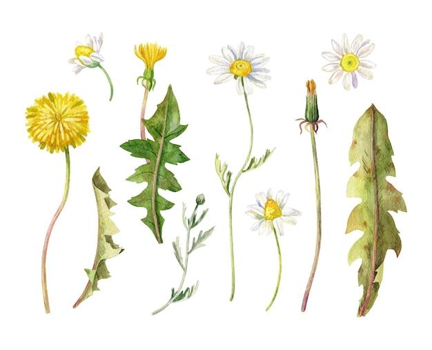 Conjunto de flores da primavera coleção aquarela camomila e dente de leão