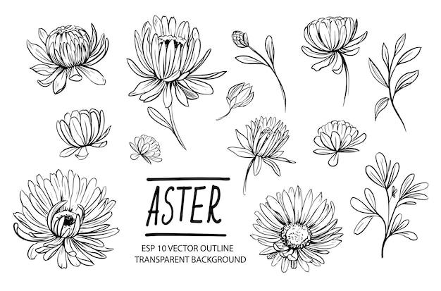 Conjunto de flores de áster. ilustração desenhada à mão isolada no branco