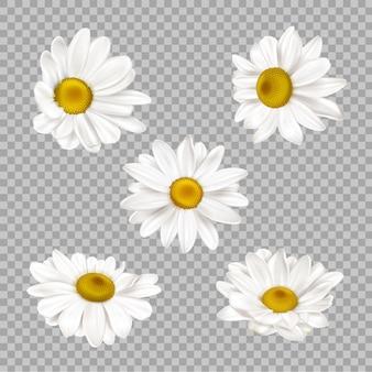 Conjunto de flores de camomila realista