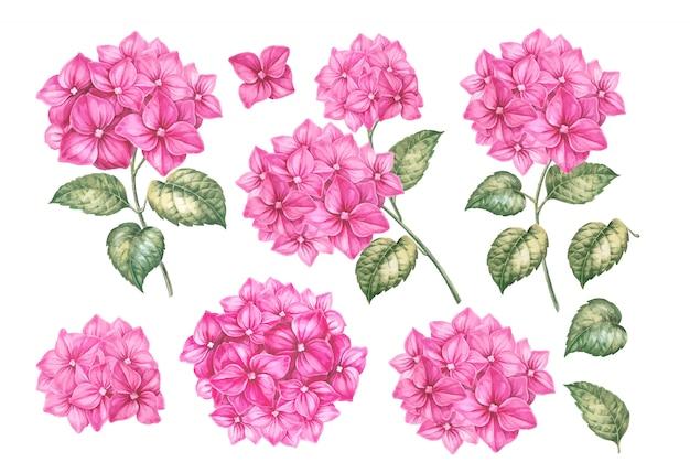 Conjunto de flores de hortênsia rosa.