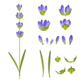 Conjunto de flores de lavanda