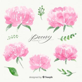 Conjunto de flores de peônia aquarela