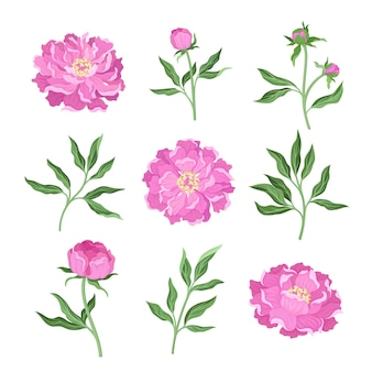 Conjunto de flores de peônia de diferentes ângulos