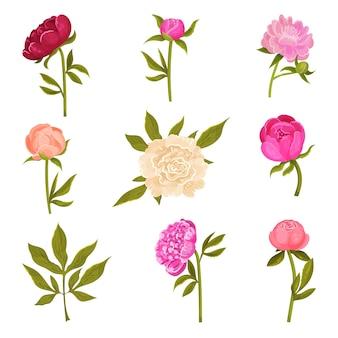 Conjunto de flores de peônias de diferentes tons em hastes verdes com folhas