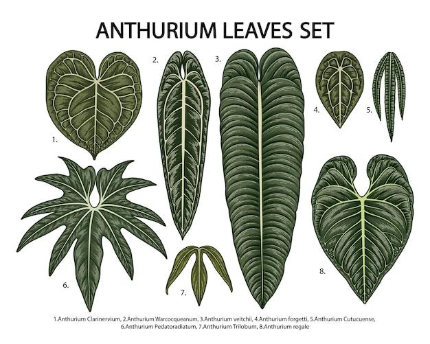 Conjunto de folhas de antúrio tropical isoladas em branco