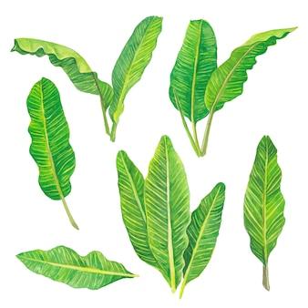 Conjunto de folhas de bananeira verde aquarela coleção floral natureza