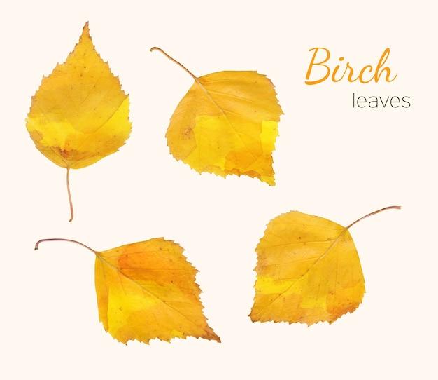Conjunto de folhas de bétula outono isoladas