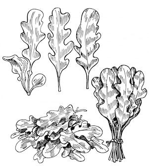 Conjunto de folhas de rúcula estilo esboço mão desenhada. única folha e cachos.