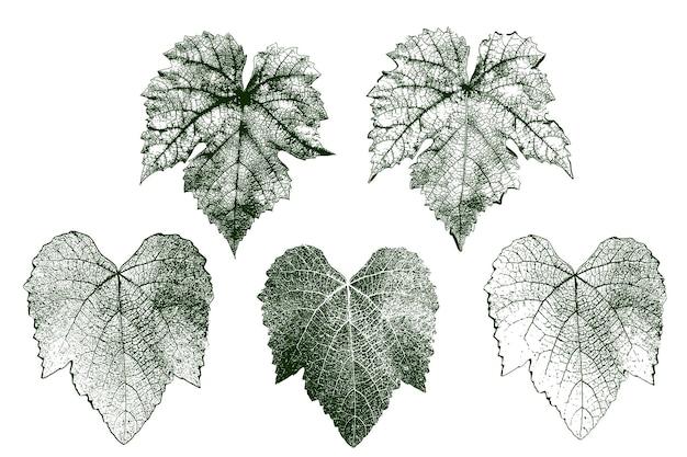 Conjunto de folhas de vetor de uva com detalhes