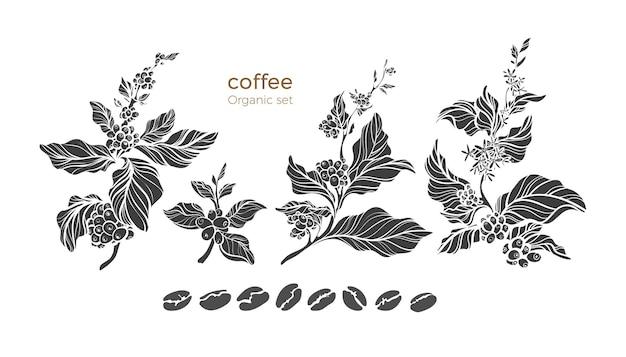 Conjunto de galhos de árvores de café com flores, folhas e grãos. desenho botânico