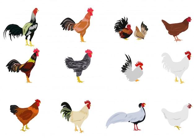 Conjunto de galinhas no fundo branco