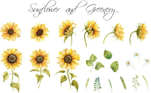Conjunto de girassóis e folhas. clipart pintado à mão em aquarela
