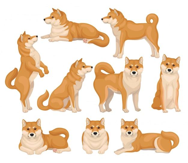 Conjunto de giro shiba inu em poses diferentes. animal de estimação em casa. cão com pêlo vermelho-bege e cauda fofa. ícones detalhados
