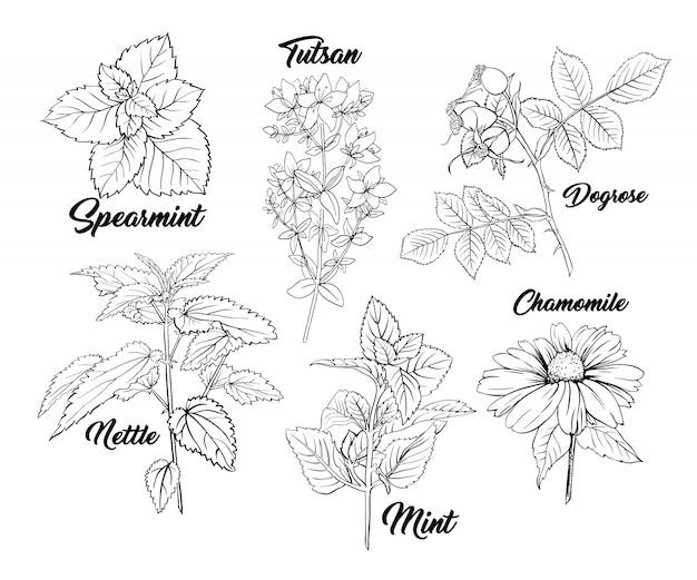 Conjunto de gravura monocromática de ervas chá.