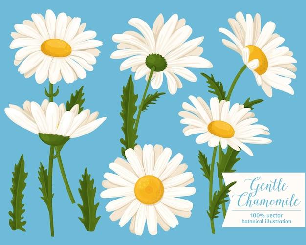 Conjunto de ícones de lindas flores de camomila