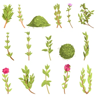 Conjunto de ícones de tomilho. conjunto de desenhos animados de ícones de tomilho para a web