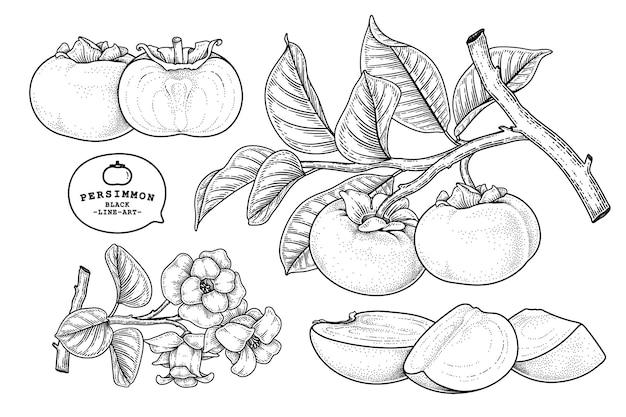 Conjunto de ilustração botânica de elementos de frutas de caqui fuyu.