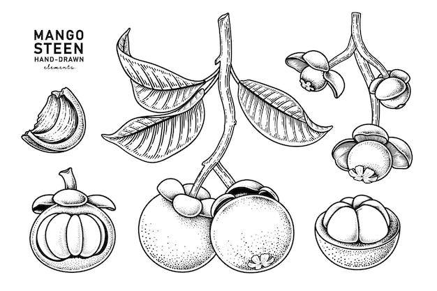 Conjunto de ilustração botânica de elementos de frutas de mangostão.