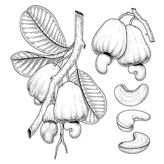 Conjunto de ilustração botânica de elementos desenhados à mão de cajueiro