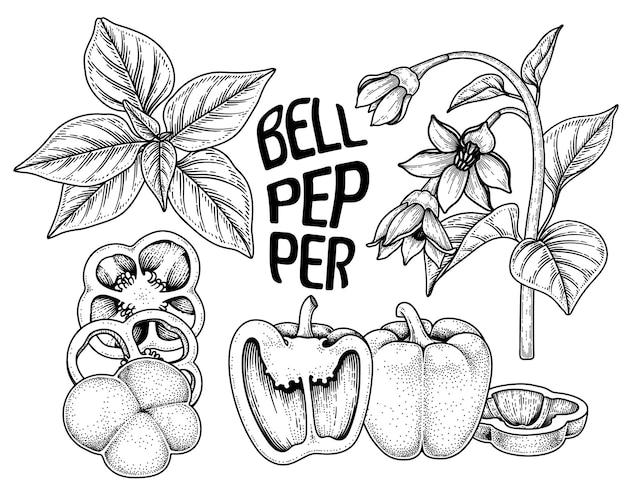 Conjunto de ilustração botânica de elementos desenhados à mão de pimentão
