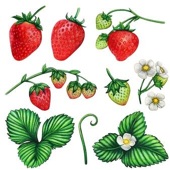 Conjunto de ilustração botânica em aquarela de morango