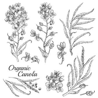 Conjunto de ilustração botânica gravada