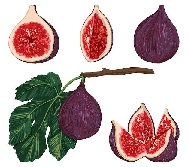 Conjunto de ilustração vetorial desenhada de mão de frutas de figos. coleta de comida saudável realista. desenho vintage colorido isolado no branco. elementos de desenho brilhante para design.