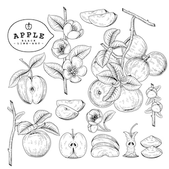 Conjunto de ilustrações botânicas de apple hand drawn.