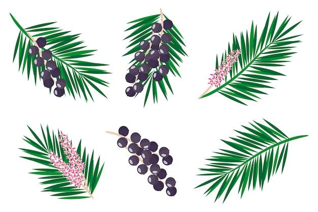 Conjunto de ilustrações com frutas exóticas açaí, flores e folhas isoladas em um fundo branco. conjunto de ícones isolados.