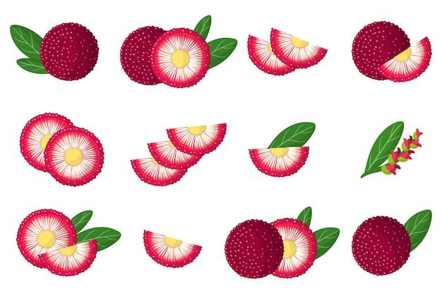 Conjunto de ilustrações com frutas exóticas bayberry, flores e folhas isoladas em um fundo branco. conjunto de ícones isolados.