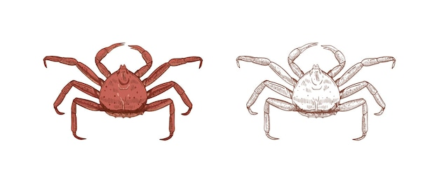 Conjunto de ilustrações de caranguejo-real