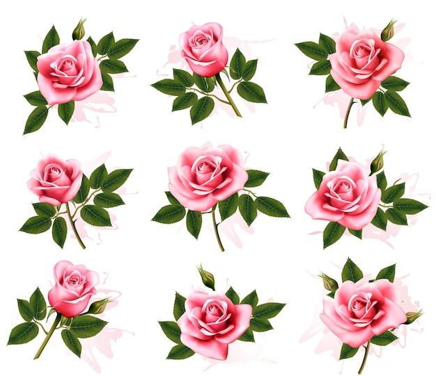 Conjunto de lindas rosas cor de rosa. vetor.