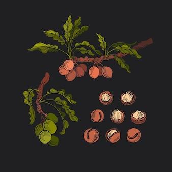 Conjunto de macadâmia noz fresca ilustração botânica do vintage óleo natural