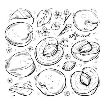 Conjunto de mão desenhada de damascos em um fundo branco e isolado.