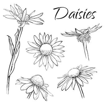 Conjunto de margaridas ou flores de camomila isoladas ilustração em vetor desenhada à mão