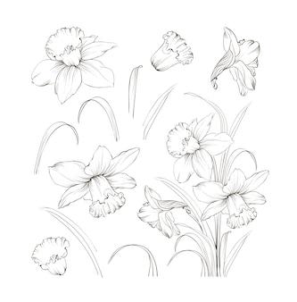 Conjunto de narciso desenho de mão de linha.