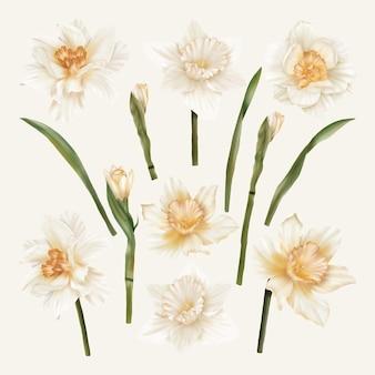 Conjunto de narcisos da primavera com folhas