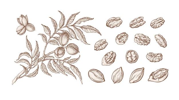 Conjunto de noz-pecã. planta desenhada à mão, ramo, nozes, folha
