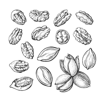 Conjunto de nozes de noz-pecã. desenho de textura desenhado à mão