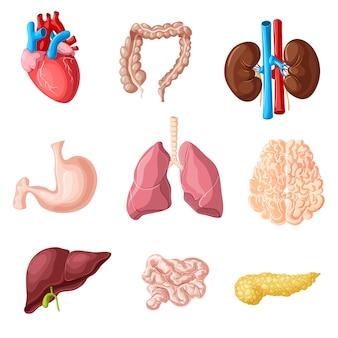 Conjunto de órgãos internos humanos de desenho animado