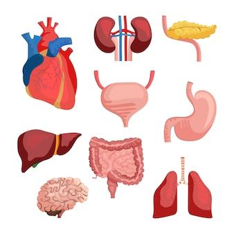 Conjunto de órgãos internos